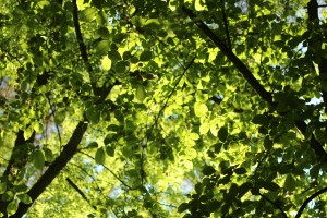 Thetford Forest Canopy