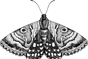 Mother Shipton moth (Callistege mi)