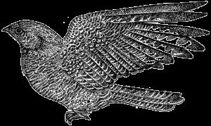 Nightjar (Caprimulgus europaeu)