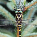 Gold Ringed Dragonfly, Bedgebury Pinetum