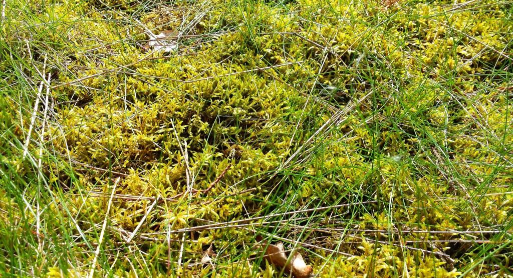 Sphagnum moss, Bedgebury Pinetum